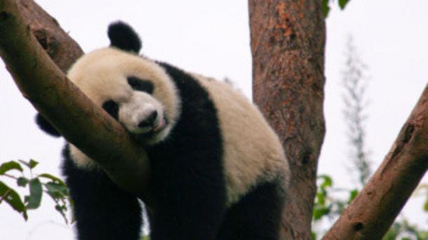 Exhausted panda